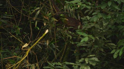 Monkey moves through jungle foliage Footage