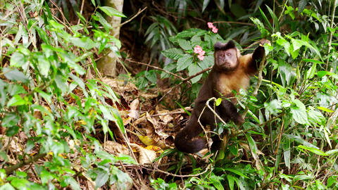 A Capuchin monkey climbs down tree branches Footage