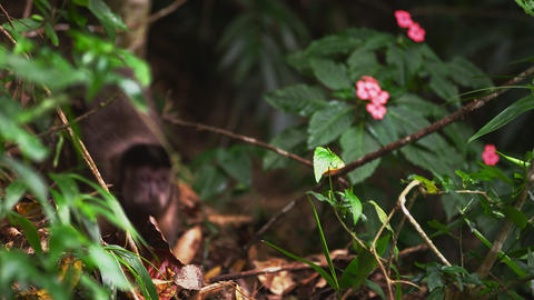 Zoom in rack focus slow motion dense jungle floor with a Capuchin monkey Footage