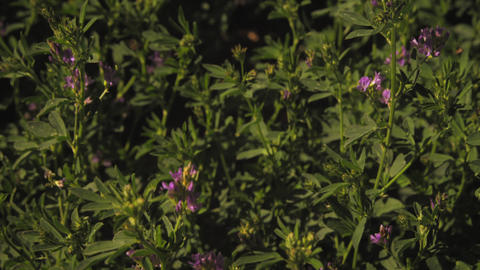 Close-up shot of purple flower bushes Footage