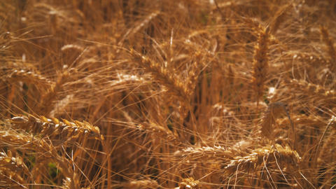 Rack focus shot of golden wheat Footage