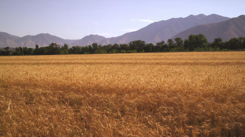 Slow panning shot of wheat field with mountains Footage