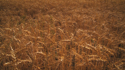 Tilting shot of golden wheat field and mountain Footage