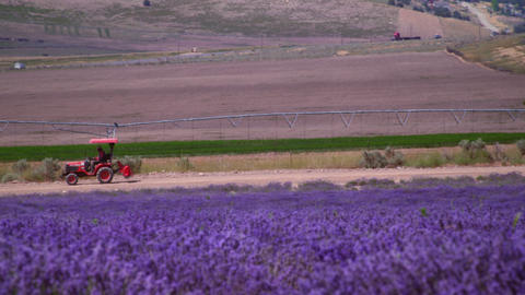 Panning shot of field of violet flowers and tractor Footage