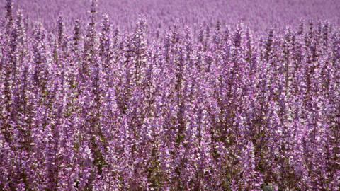 Panning shot of violet lupine field Footage