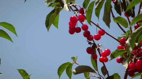 Static shot of cherry branch with sky Footage