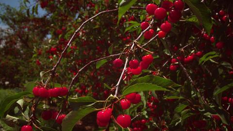 Static shot of cherries in trees Footage