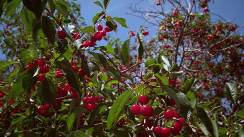 Tilting shot of cherries in trees Live Action