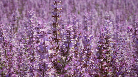 Close-up panning shot of lavender flowers Footage