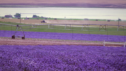 Wide shot of lavender field and irrigation system Footage