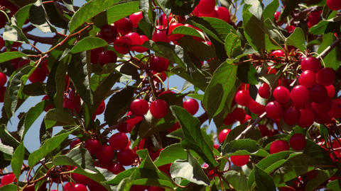 Close-up shot of cherries on cherry tree Footage