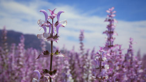 Racking focus of lavender flowers Footage