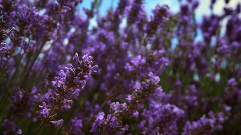 Close-up racking shot of lavender flowers and a bee Footage