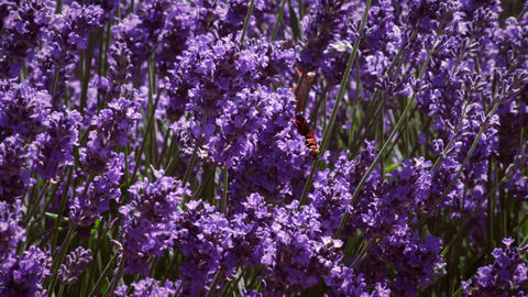 Close-up shot of insect crawling over lavender Footage