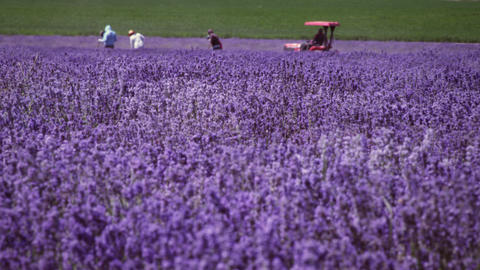 Panoramic shot of a lavender field and some people Footage