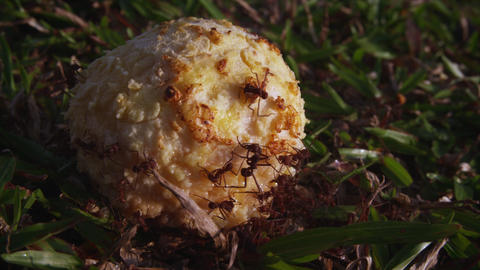 Ants swarming ball of food on ground Footage