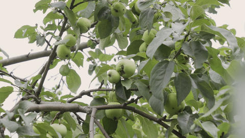 Green apples on a tree branch in the garden. Apple tree after the rain in the Live Action