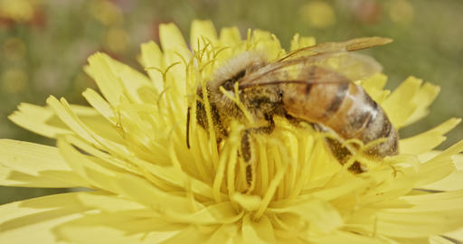 Pollination - Special macro shot of a bee on a flower covered with flower Pollen Live Action