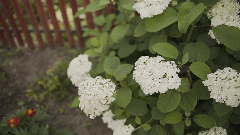 Blooming white flowers of Hydrangea Hortensia in the garden Footage