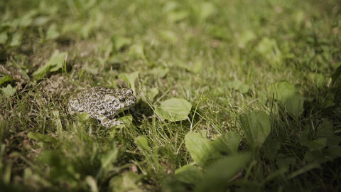 The toad are posing on grass on a nature background Footage