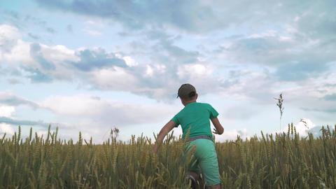 Carefree little boy run across high golden grass. A boy runs across the field Live Action