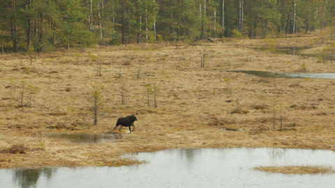 Moose moving through a marsh Footage