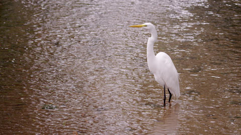 Static full body shot of white bird wading in water Footage