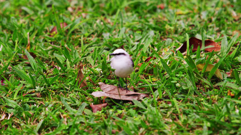 Close up shot of little bird resting on a leaf on the ground in Brazil Footage