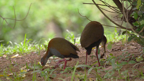 Shot of two brazilian birds walking around Footage