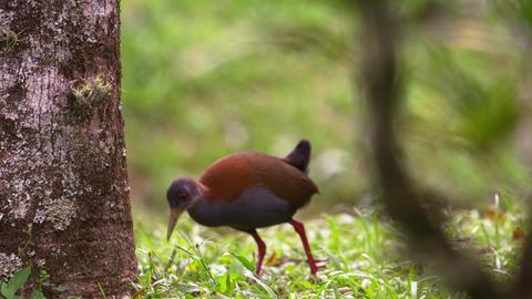 Rack focus shot of brazilian bird pecking ground Footage