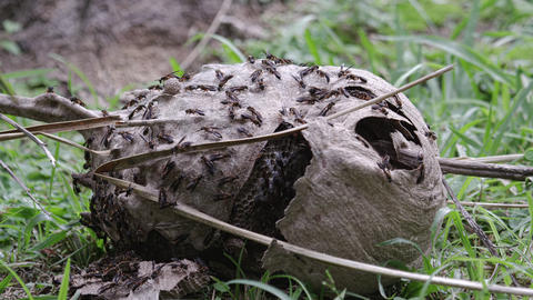 Close up shot of hornets nest in Rio Footage