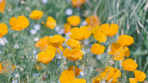 California Poppy Flowers,at Showa Memorial Park,Tokyo,Japan,Filmed in 4K Footage