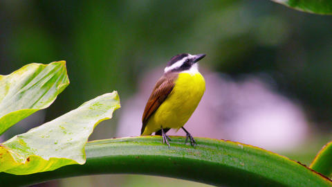 Close up shot of a Great Kiskadee, in Rio Footage