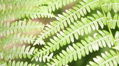 Fern leaf in the wind 0002 Footage