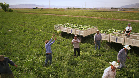 Aerial, panning shot of workers in a field throwing watermelons into trailers Footage