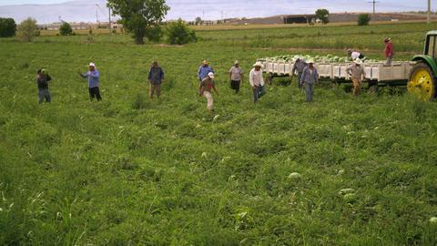 Aerial shot of workers harvesting food in a field Footage