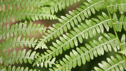 Fern leaf in the wind 0001 Footage