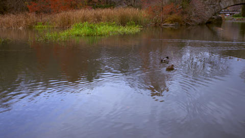 Ducks and arched bridge shot Footage