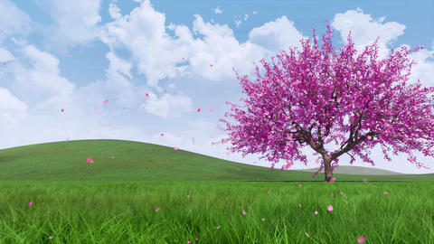 Sakura cherry tree in full blossom with falling petals Animation