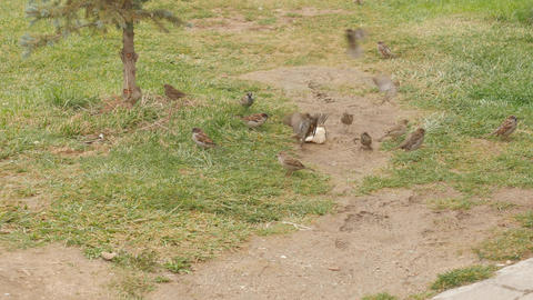 Group of sparrows eat bread on the ground Footage
