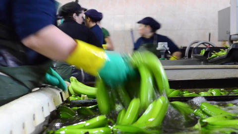 Operator washing bunches of banana at packaging plant Footage