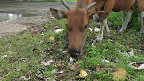 Cow eating in a pile of garbage. City Dump. Pollution concept, ecology Footage