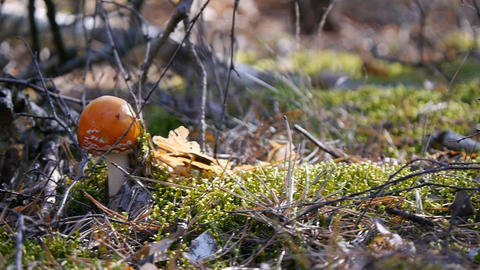 Amanita in the forest. Mushroom. Camera slide right to left. Autumn forest Footage