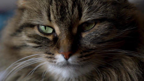 Cute muzzle of a tabby domestic cat close up Live Action