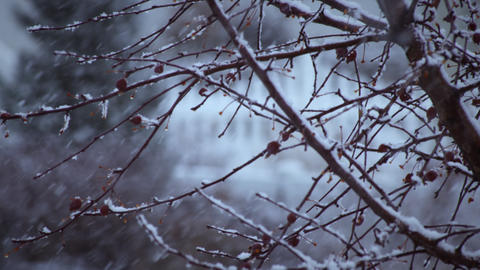 Close-up shot of a tree's branches during a snowstorm Footage