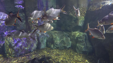 marine fishes serenely swim in the sea water of the aquarium. beautiful fabulous Live Action