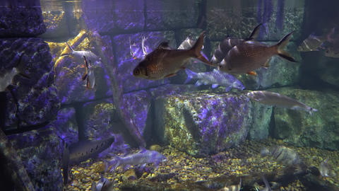 underwater sea world. Aquarium with a large aquarium. sea fish swim in the Footage