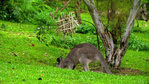 Kangaroo eating grass on a safari park GIF
