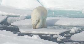 Polar Bear walking on broken sea ice Footage