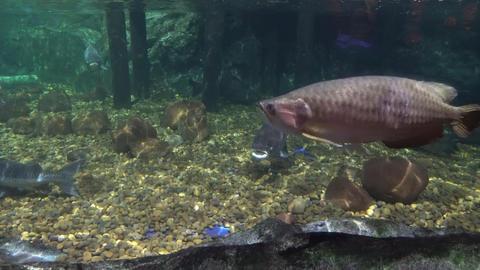 big sea fish in the aquarium. aquarium with marine life. fish and corals Footage